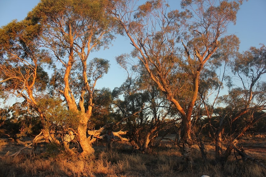 Remnant Old growth Mallee trees are rich in nesting hollows, habitats for Mallee birds and animals.