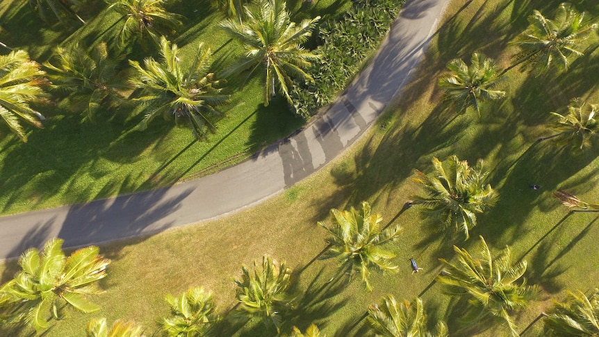 A drone photo of coconut palms, from above, on a field of grass with a road winding through the image.
