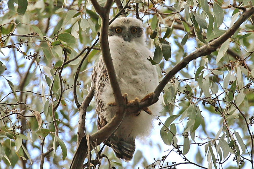 An owl sitting on a tree branch, looking into the camera.