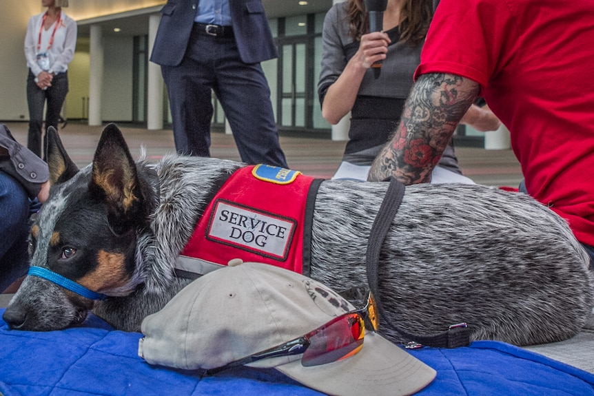 Roxy the service dog is one of the many dogs helping returned soldiers throughout Australia.