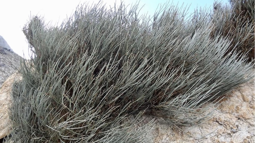 Close up of a ephedra plant