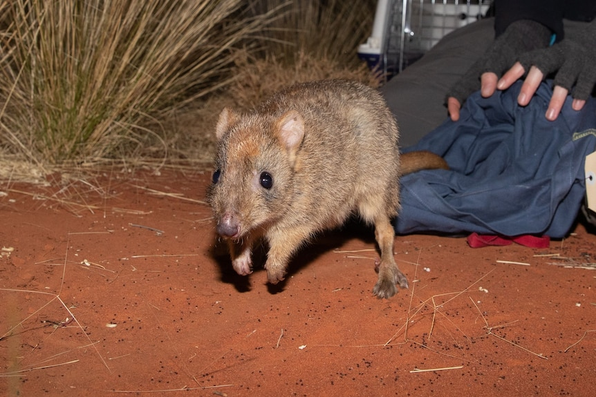 small, bilby-like marsupial hopping on red dirt