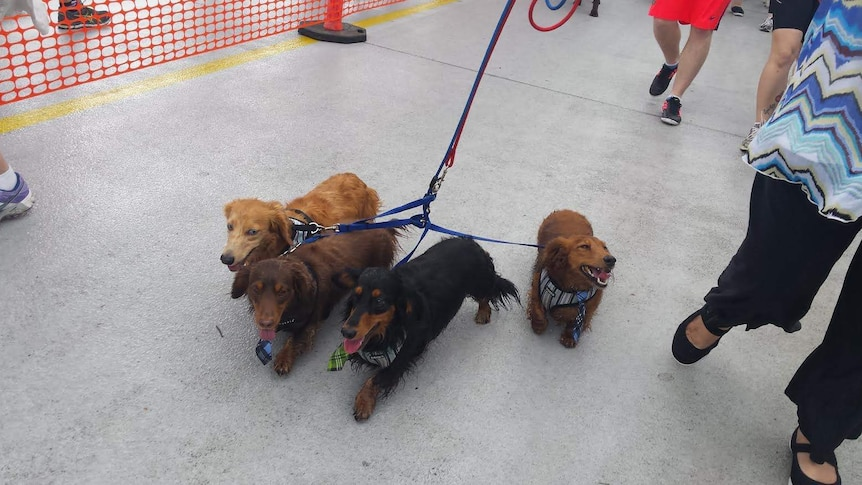 Dachshunds on the Million Paws Walk in Brisbane