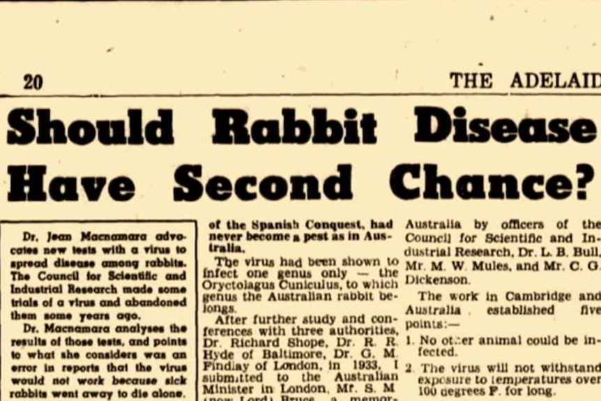An old newspaper with headline: Should Rabbit Disease Have Second Chance?