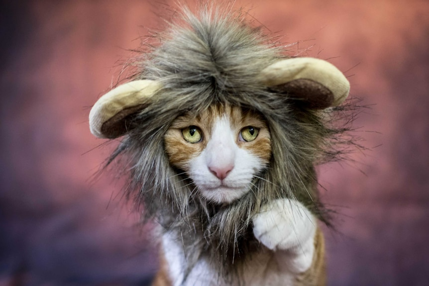 A domestic cat wearing a lion costume.