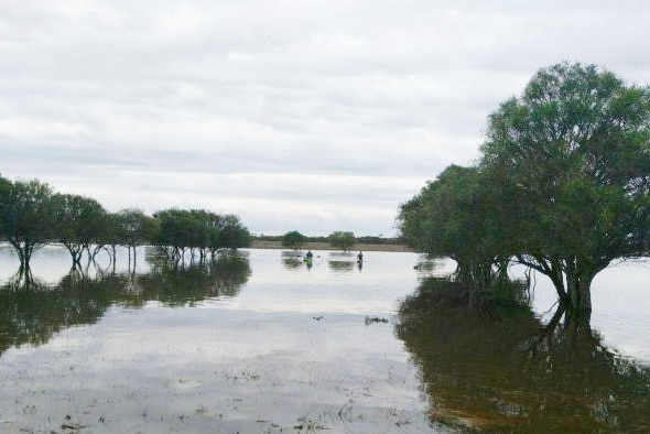 Swimming to save cattle