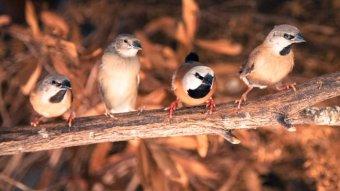 The small endangered bird causing a big problem