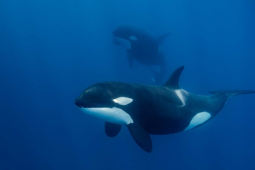 Close-up view of a female killer whale swimming in blue water.