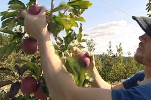 A young man in a baseball cap picks red apples in an orchard