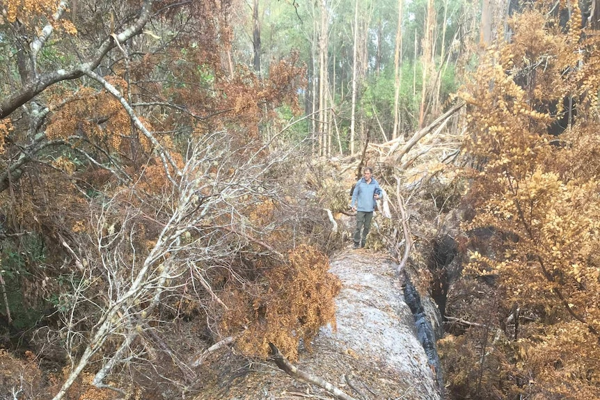 A giant tree lies dead on its side, a man stands on top of it.