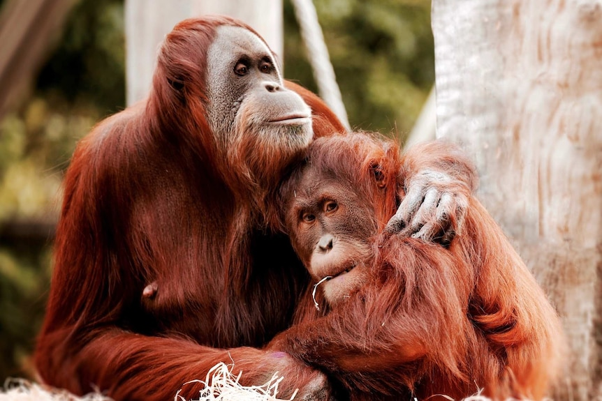 Maimunah, a 32-year-old orangutan, places her arm around her 8-year-old daughter, Dewi, in an enclosure at Melbourne Zoo.