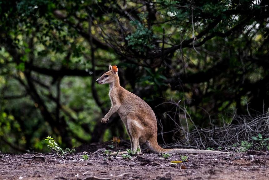 A wallaby in Kakadu National Park.