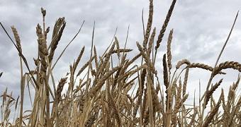 Federation wheat history