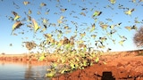 Red dirt in foreground with budgies coming down to drink at water's edge.
