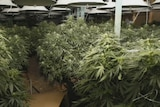 Cannabis plants seized in largest NSW haul