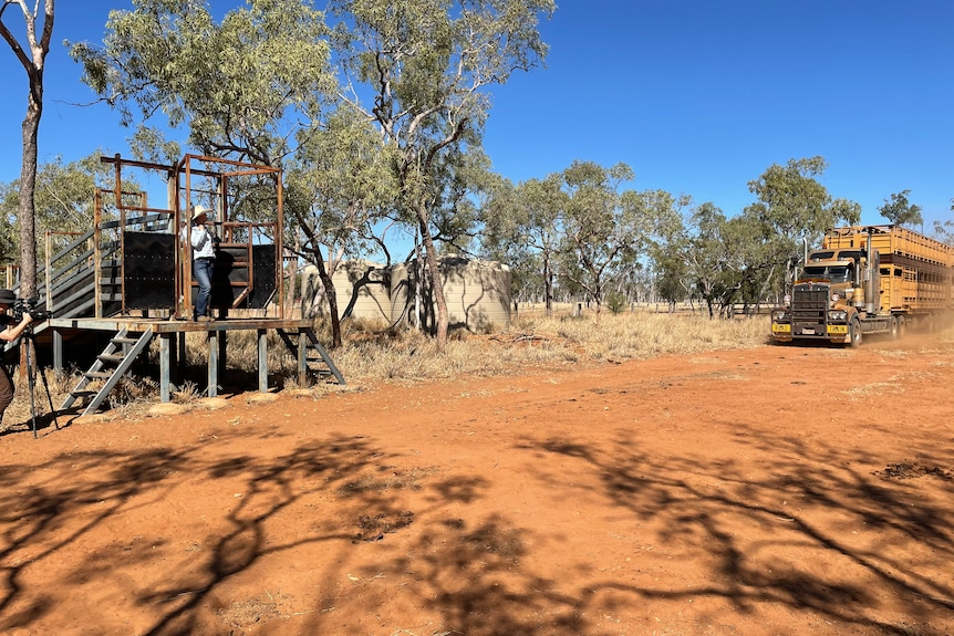 Jodie Muntelwit stands on podium awaiting truck, seen to right of image, delivering cattle to Lara station