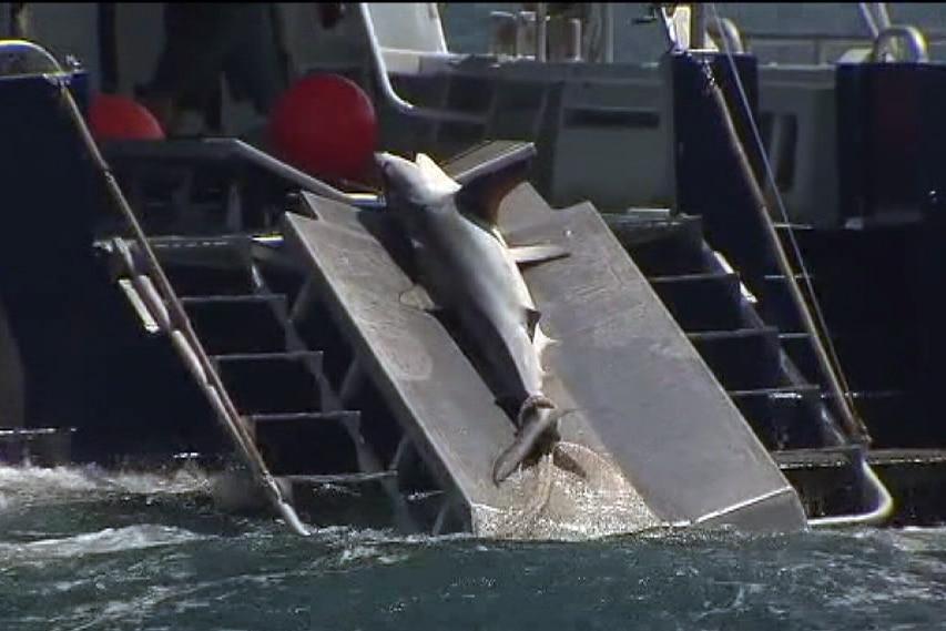 Shark caught in drum lines set off Perth beach