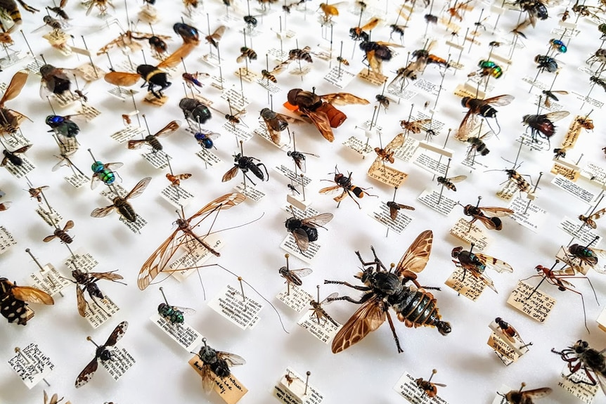 Tray of many different species of flies