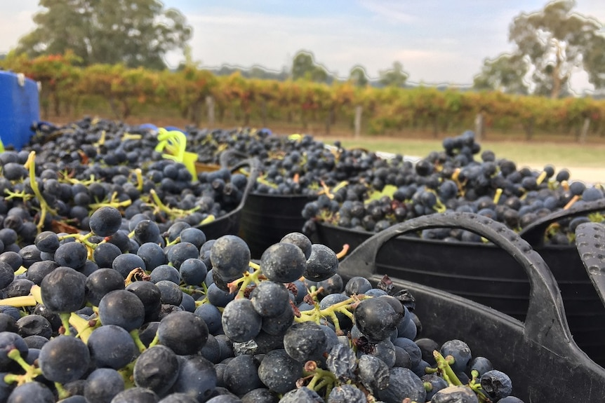 A close up photo of bunches of dark purple grapes in several black buckets