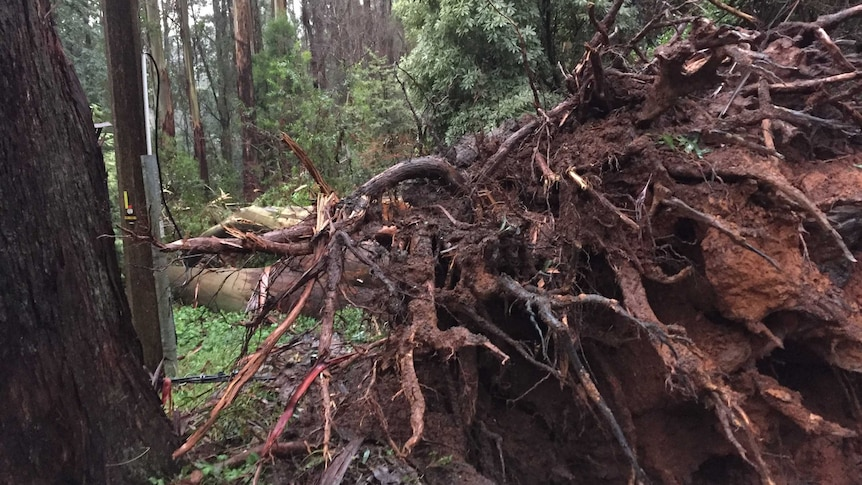 What makes some trees fall in storms?
