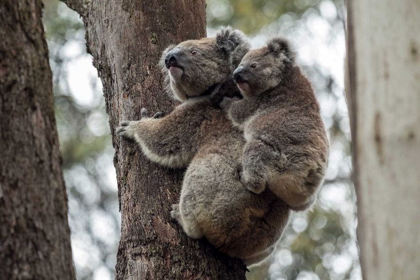 A koala on a tree in the Blue Mountains