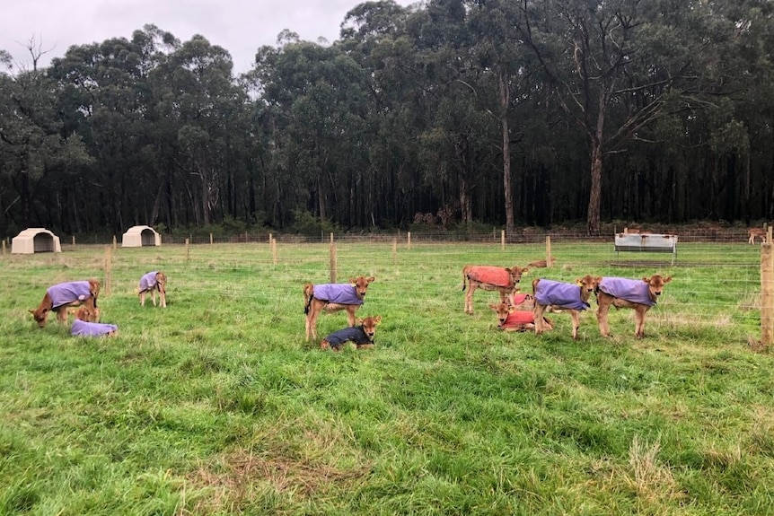 Eight calves lounge out on a paddock wearing little coats to keep them warm.