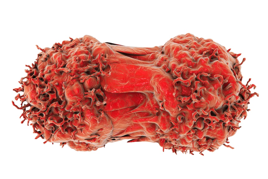 Fleshy illustration of two red cancer cells dividing