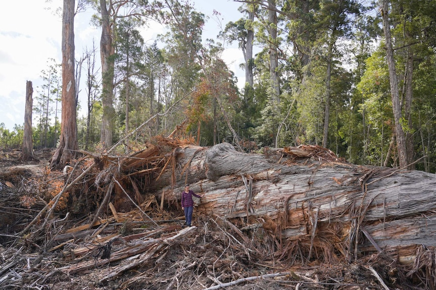 A giant tree lying on the ground in a cleared area with a person standing next to it, and standing forest in the background.