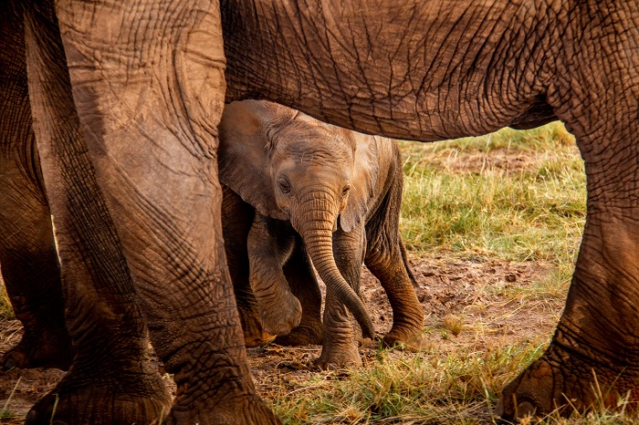 A baby elephant peaks out from behind its mother's legs