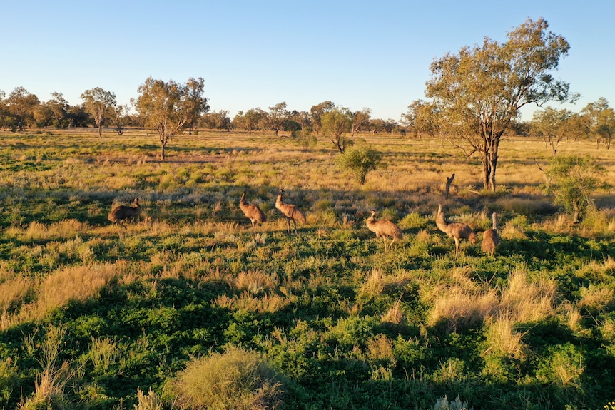A group of emu are standing in the outback.