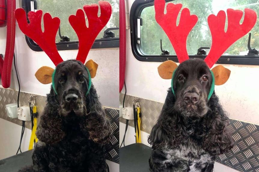 Photos of two Cocker Spaniel dogs wearing deer antlers.