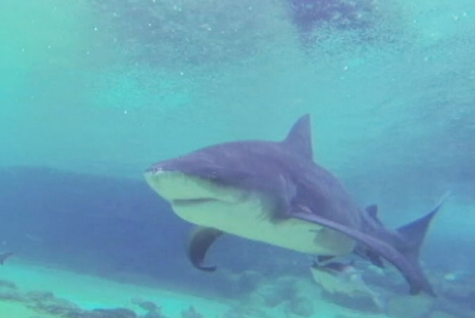 Elle, the only bull shark at Sea World on Queensland's Gold Coast