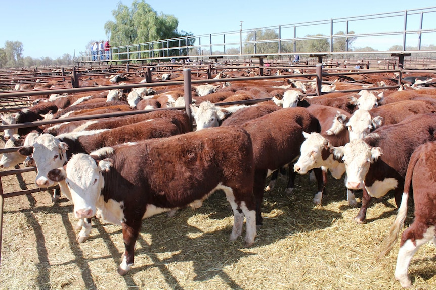 A wide shot of hereford cattle sale pens