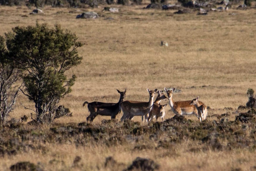 Five deer stand in a paddock next to shrubs and rocks.