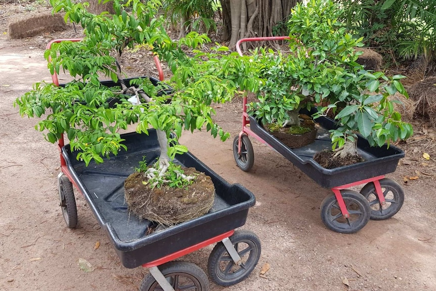 Two bonsai trees on two small wagons