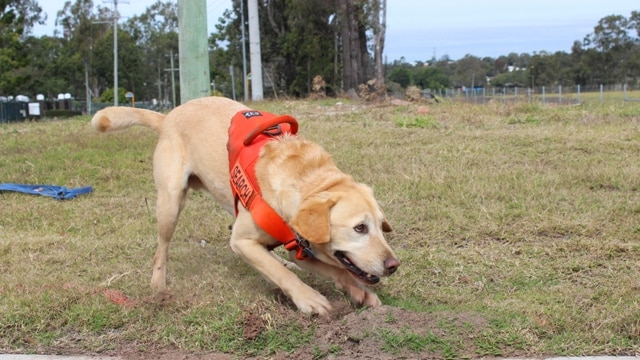 Canon the sniffer dog finds a fire ant nest by the road in western Brisbane.