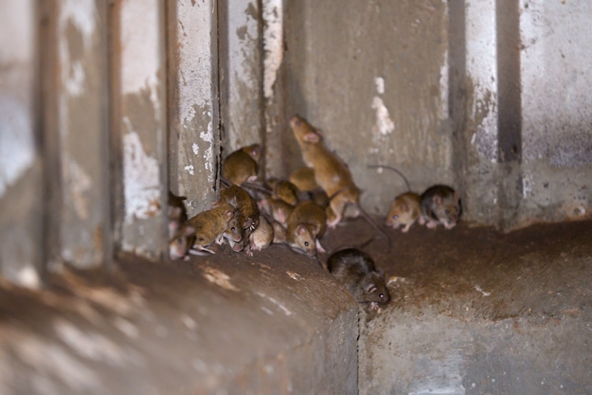 Mice gathering in a grain shed.