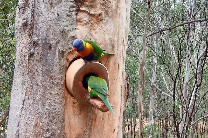 Two brightly coloured parrots investigate a hollow in a tree