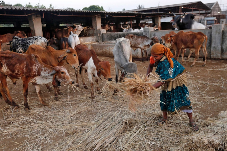 Woman feeds cows at a Hindu cow shelter in India