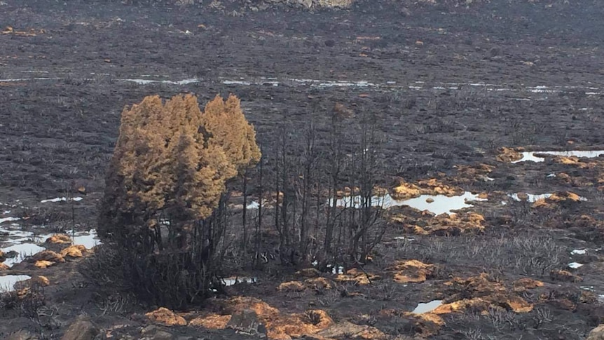 Burned trees and blackened ground in a Tasmania WHA
