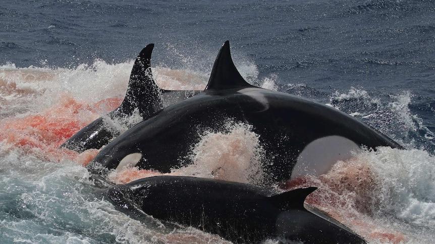 A pod of Killer Whales feeds on a rare Beaked Whale off the south coast of Western Australia.