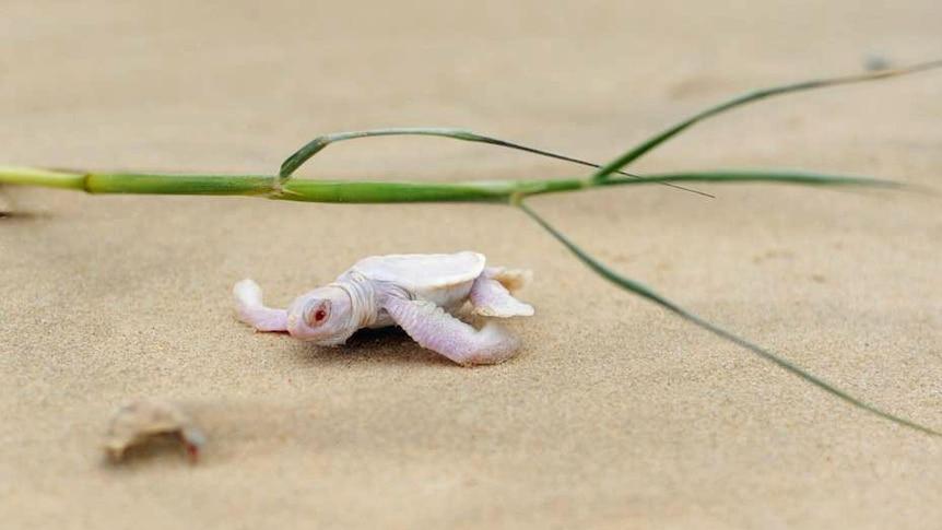 Albino turtle at Castaways Beach
