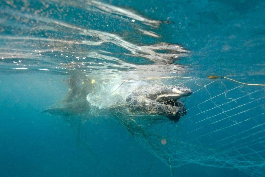 A whale calf entangled in a shark net