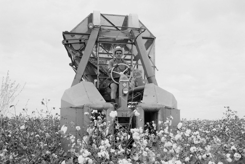 Harvesting cotton on the Ord River in 1966
