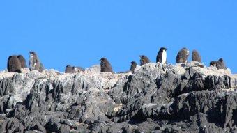 Adelie penguins on Gardner Island in Antarctica.