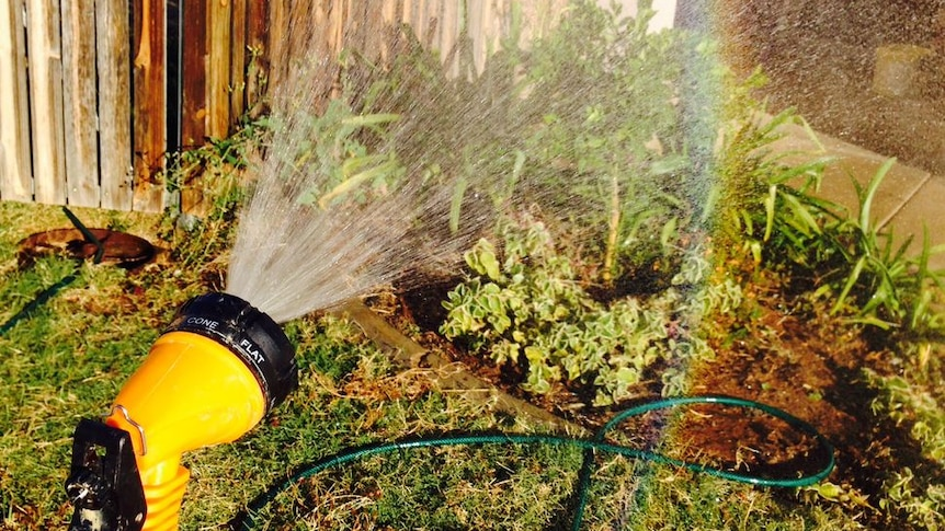 A rainbow appears at the end of the water sprayed from the yellow nozzle of a garden hose which is being used to water shrubs.