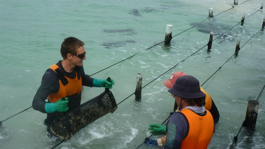 Oyster farmers tend to baskets of oysters while standing waist-deep in water.