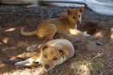Two dingo puppies lying in the dirt, looking towards the camera.