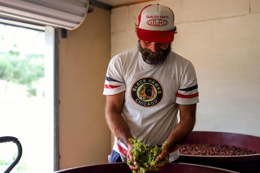 Man with beard wearing red hat and white tshirt stands inside shed holding handful of dripping green grapes above red barrel