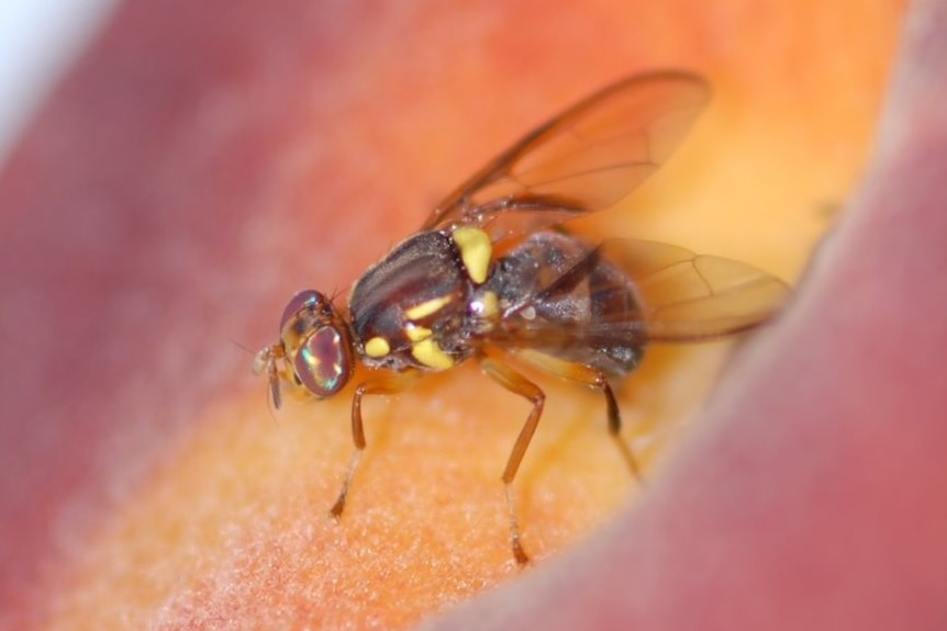 A Queensland fruit fly up close on a piece of fruit